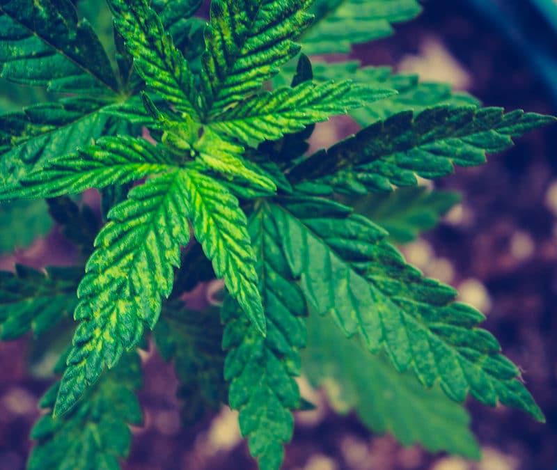 Comment cultiver la fleur de CBD?